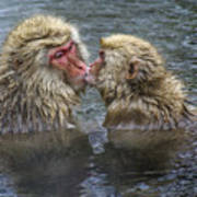 Snow Monkey Kisses Poster