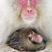 Snow Monkey Love Poster