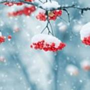 Snow On Red Berries Poster