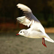 Snow White Seagull Poster