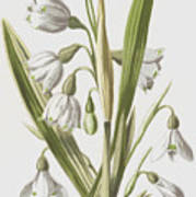 Snowdrop And Snowflake Poster