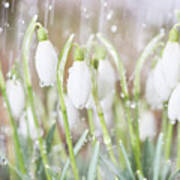 Snowdrops In The Garden Of Spring Rain 4 Poster
