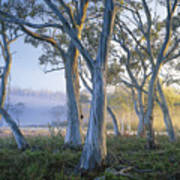 Snowgums At Navarre Plains, South Of Lake St Clair. Poster by Rob Blakers
