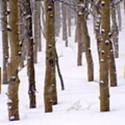 Snowy Aspen Poster