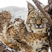 Snowy Bobcat Poster