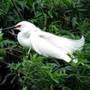 Snowy Egret 12 Poster