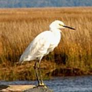 Snowy Egret 2 Poster