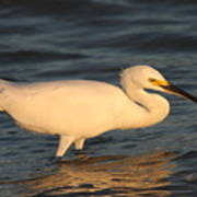 Snowy Egret By Sunset Poster