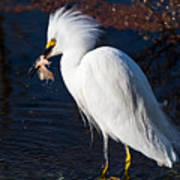 Snowy Egret Eating Fish Poster