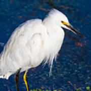 Snowy Egret In Afternnon Light Poster