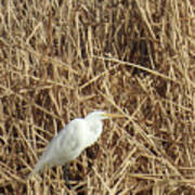 Snowy Egret In Tall Grasses Poster