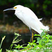 Snowy Egret In The Everglades Poster
