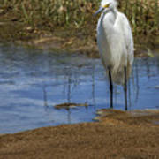 Snowy Egret Of Chincoteague No. 3 Poster