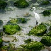 Snowy Egret On Mossy Rocks Poster