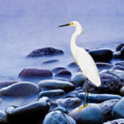 Snowy Egret On The Rocks Poster
