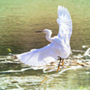 Snowy Egret Over Golden Pond Poster