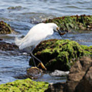 Snowy Egret  Series 2  2 Of 3  Preparing Poster