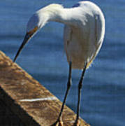 Snowy Egret That Minnow Will Be Fine Poster