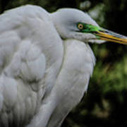 Snowy Egrets Poster