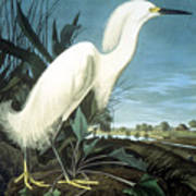 Snowy Heron Poster
