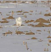 Snowy Owl 2016-9 Poster