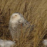 Snowy Owl In Grass Poster