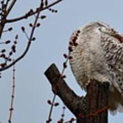 Snowy Owl Preening Poster