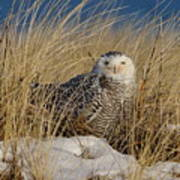 Snowy Owls On The Beach Poster