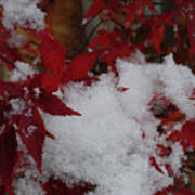 Snowy Red Maple Poster