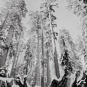 Snowy Sequoias At Calaveras Big Tree State Park Black And White 3 Poster
