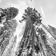 Snowy Sequoias At Calaveras Big Tree State Park Black And White 6 Poster