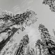 Snowy Sequoias At Calaveras Big Tree State Park Black And White 7 Poster