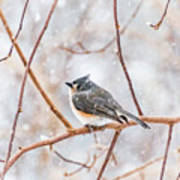 Snowy Titmouse Poster