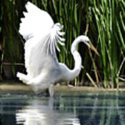 Snowy White Egret In The Wetlands Poster