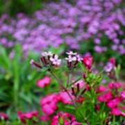 Soapwort And Pinks Poster