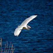 Soaring Snowy Egret  Poster