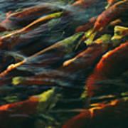 Sockeye Salmon Swim Upstream To Spawn Poster