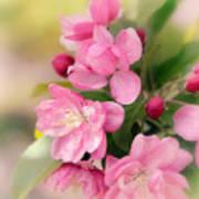 Soft Apple Blossom Poster