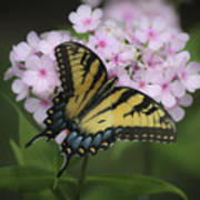 Soft Focus Tiger Swallowtail Poster
