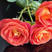 Soft Full Blown Red-orange Roses On Black Background. Poster