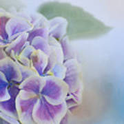 Soft Hydrangeas On Blue Poster