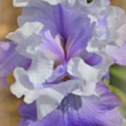 Soft Iris Poster