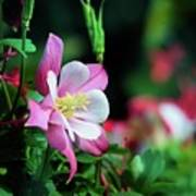 Soft Pink Columbine Poster