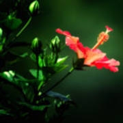 Soft Red Hibiscus Plant Poster