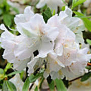 Soft White Azaleas Poster