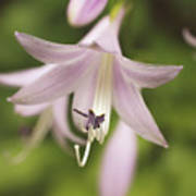 Softened Hosta Bloom Nature Photograph  Poster