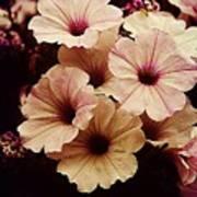 Solanaceae Poster