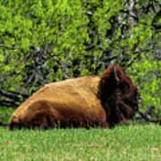 Solitary Buffalo Poster