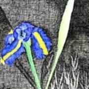 Solitary Iris Poster