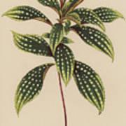 Sonerila Margaritacea Poster
